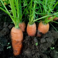 Helsing+Junction+Farms+Carrots